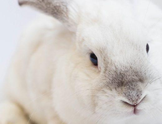 White rabbit against white backdrop